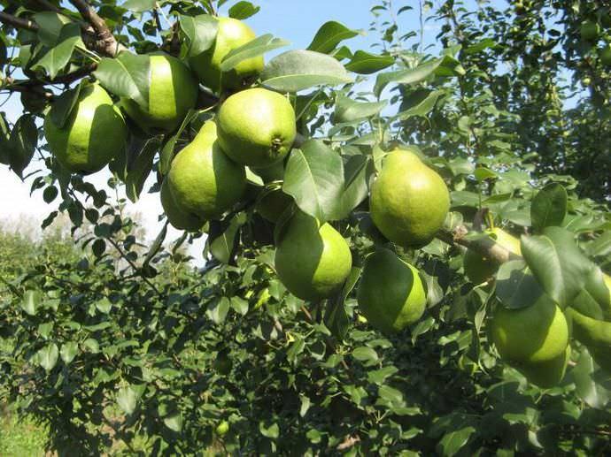 Особенно сильное опадание плодов наблюдается при перегрузке растения урожаем
