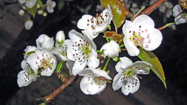 На стадию плодоношения груша «Самарская красавица» выходит примерно через пять лет после посадки на постоянное место