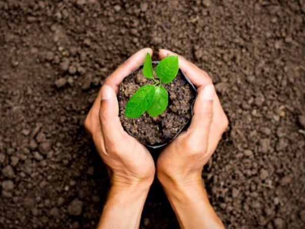 учшей почвой для данного дерева считается чернозем или суглинок