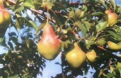 Осенний сорт груши Самарская красавица