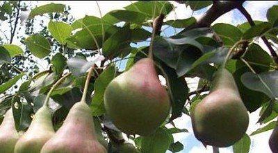 Плоды груши Самарская Красавица