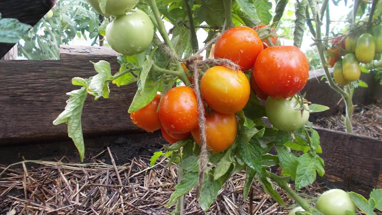 выращивание томатов Амурский штамб