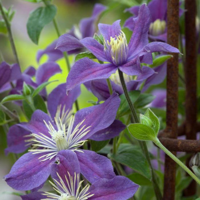 цветы клематиса арабелла