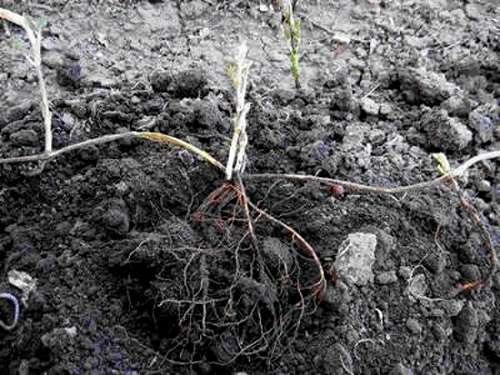 размножение клематиса арабелла