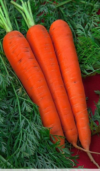 урожайность моркови император
