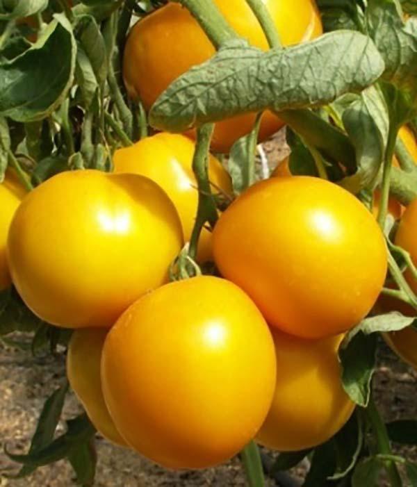 томат санька золотой на кустах