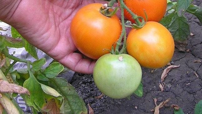 помидоры санька золотой