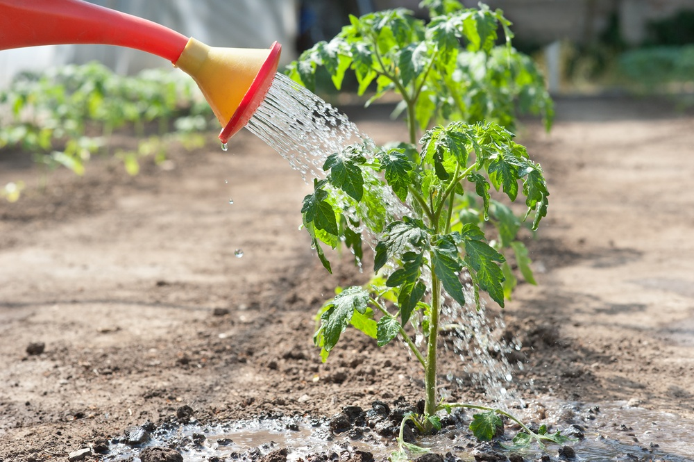 полив томата санька золотой