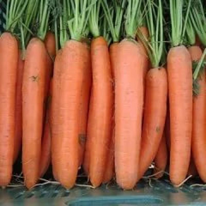 тупоносая морковь дордонь