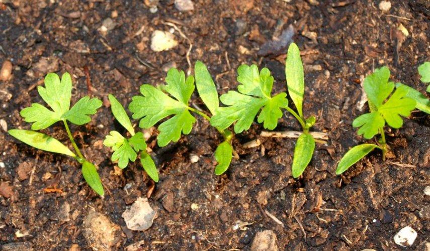 выращивание моркови дордонь