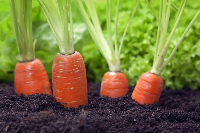 подкормка моркови дордонь