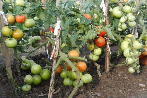 достоинства томата красным красно