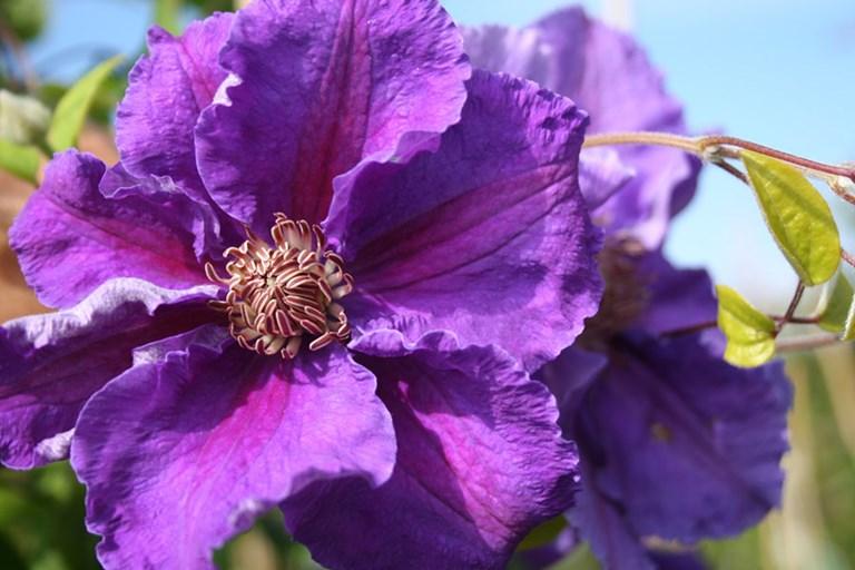 как цветет клематис ашва
