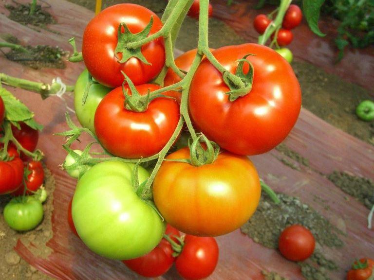 плоды томата красным красно