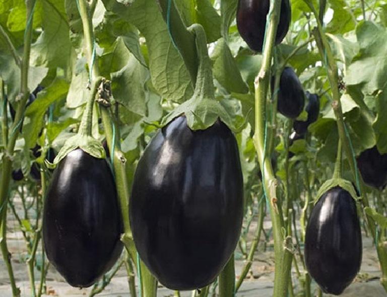 урожайность баклажанов черный красавец