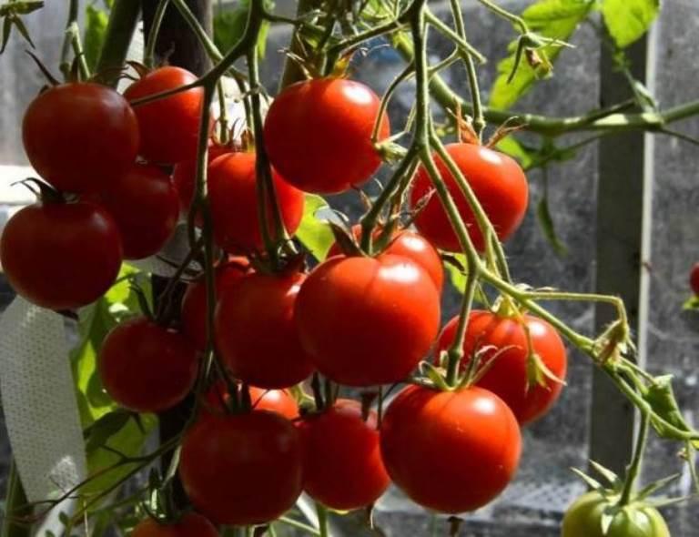 урожайность томата красным красно