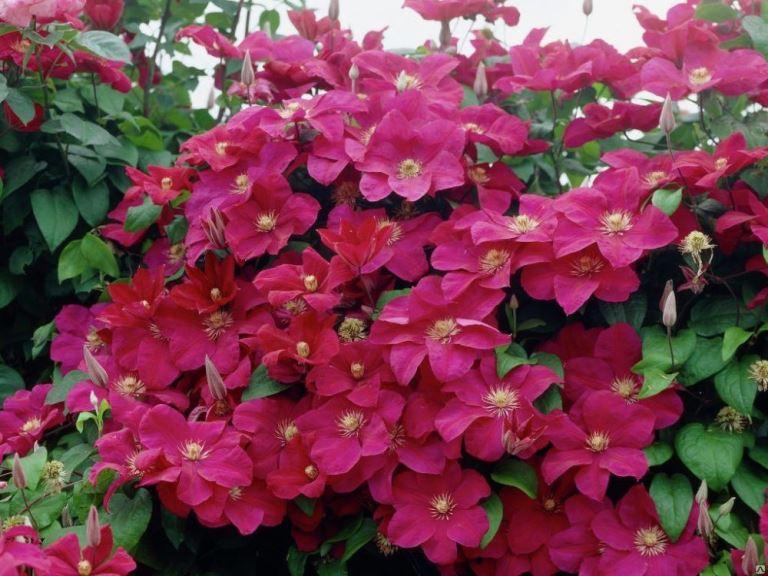 цветение клематиса кардинал вышинский