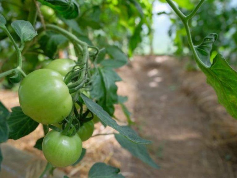 выращивание томата взрыв