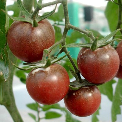кисть томата черная жемчужина