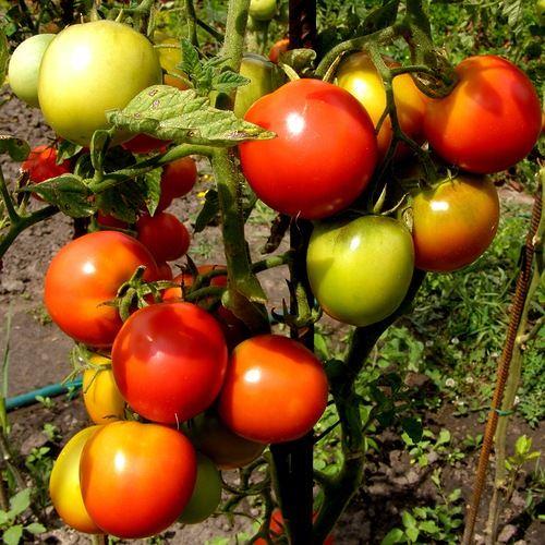 куст помидоров красная шапочка