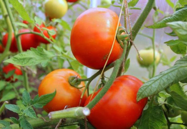 применение томата санька