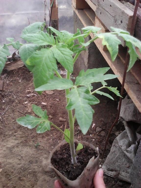 рассада низкорослых томатов