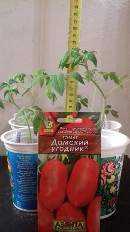 рассада томатов дамский угодник