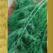 семена укропа аврора
