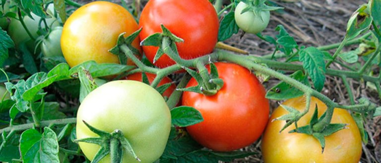 томаты взрыв в открытом грунте