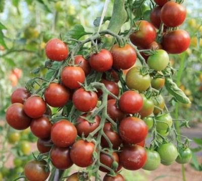 томат черная жемчужина на кустах