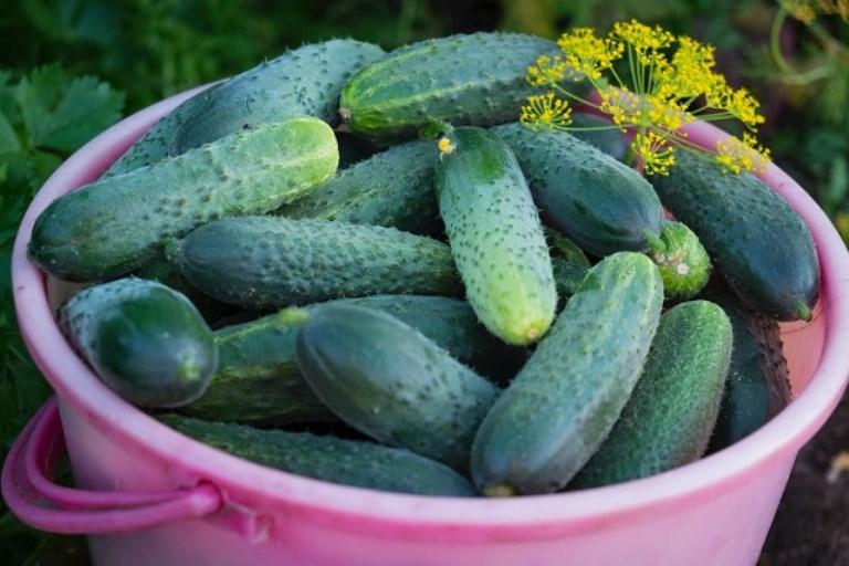 урожайность огурцов шоша