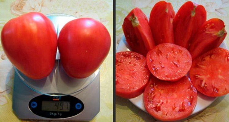 урожайность томата батяня