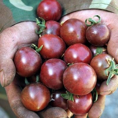 урожайность томата черная жемчужина