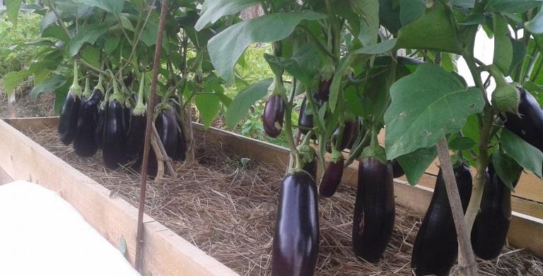 выращивание баклажана черный принц