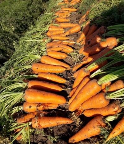 выращивание моркови абако