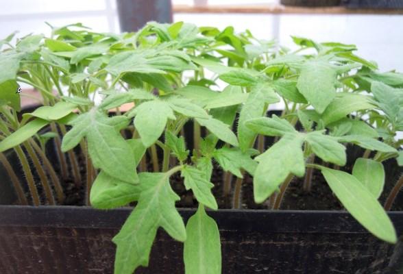 выращивание рассады томата