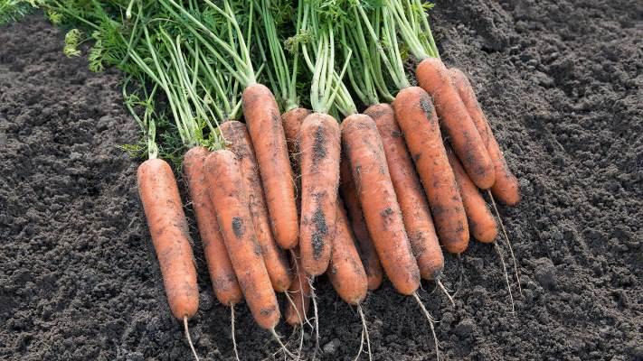 достоинства моркови самсон