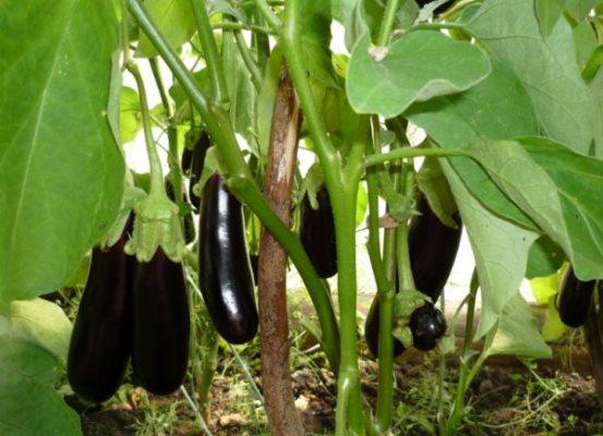 кусты баклажана черный принц