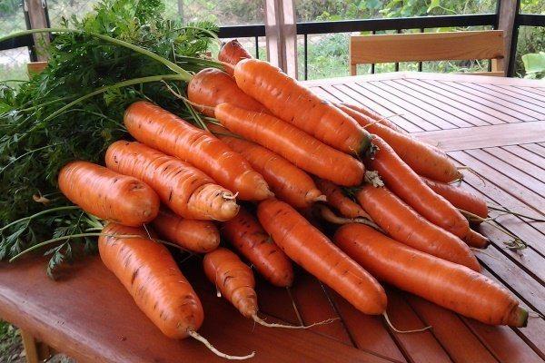 плюсы моркови самсон