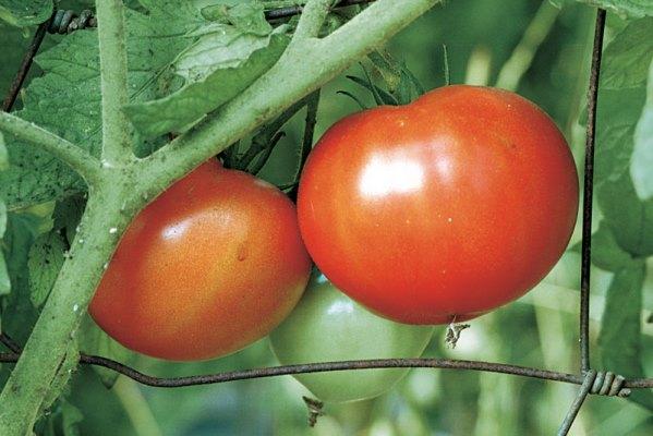 помидоры джина