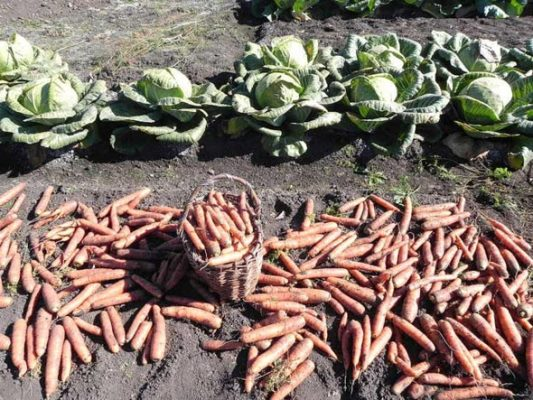 сбор моркови самсон