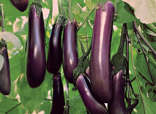 урожайность баклажана черный принц