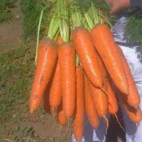 урожайность моркови абако