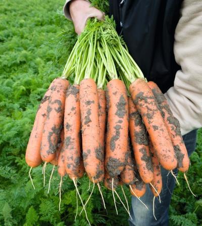 урожайность моркови балтимор
