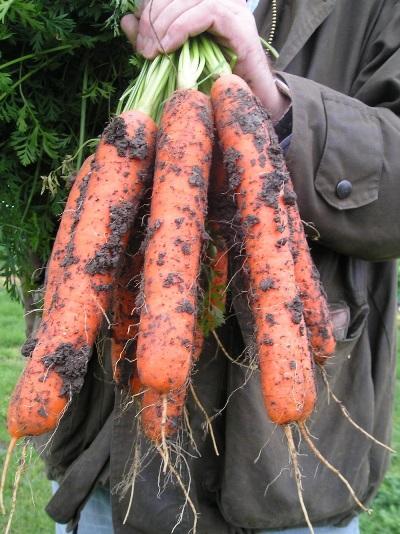 урожайность моркови самсон