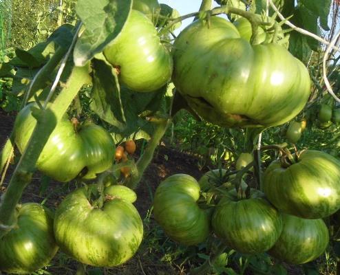 урожайность томата жемчужина джанет