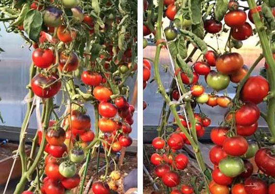 урожай томатов черная богиня