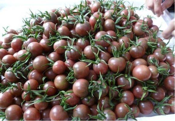 урожай томатов черный жемчуг