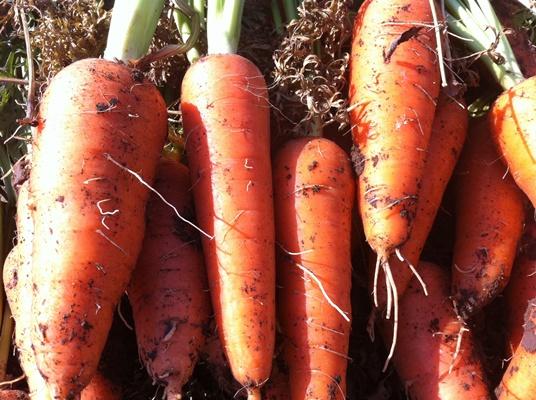 характеристики моркови абако