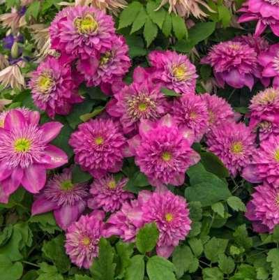 цветение клематиса кайзер